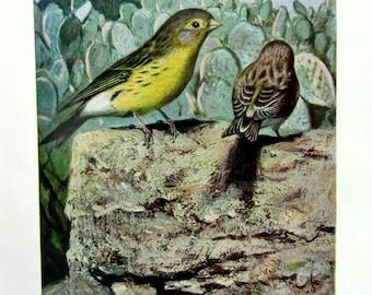 1920 Antique CANARY BIRD lithograph, vintage print of birds, original passerine bird , color songbird engraving plate.