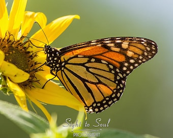 Monarch Butterfly Wall Décor, nature photography, butterfly on sunflower photo, summer décor, fine art print