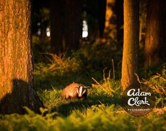 Sunset Badger. British Wildlife Photography. Animal Art Print.
