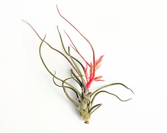 "Tillandsia Air Plants""  Bulbosa "" by Joinflower Joinfolia"