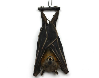 Real Taxidermy Bat | Hanging Lesser Short-nosed Bat Specimen