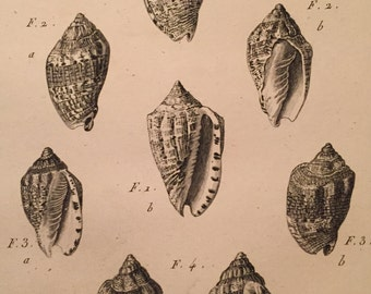 """Antique """"Volute"""" Shell Copperplate Engraving (200 years old)"""