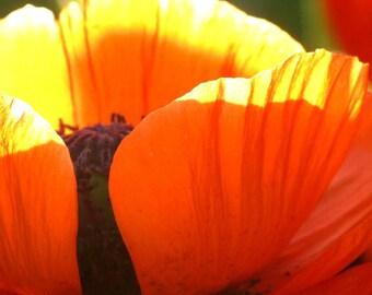 Backlit poppy on summer's eve