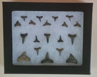 Fossilized sharks teeth in case (19)