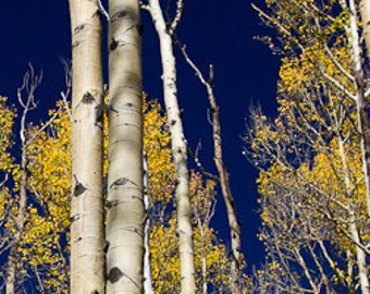 Panorama: Aspens in Autumn with deep blue sky. Photograph on canvas.