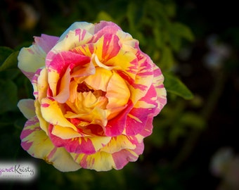 Pink and Yellow Rose - flower photography