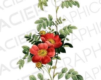 5 PNG Victorian Floral Rose Illustrations Die Cut Vintage Victorian Roses Background Digital Download Collage Scrapbook Image