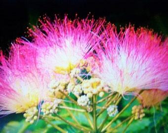 Mimosa Tree Seeds 25 Ct, Home grown seeds