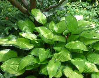 """Hosta (Hosta """"Paul's Glory"""")-perennial-live plant"""