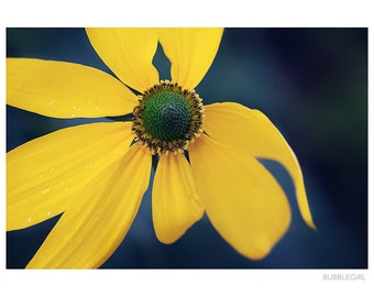 Nature Photography PRINT, Rudbeckia-2, Wall Art
