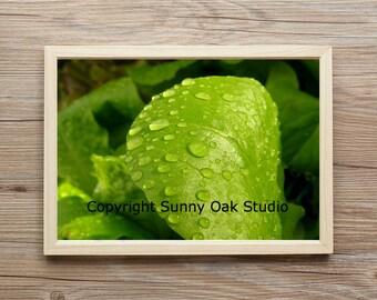 Photograph of wet lettuce plant, rain photo, raindrops photo, lettuce photo, garden photo, water photo, nature photo