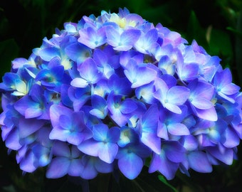 Purple and Blue Hydrangea Plant Creates a Stunning Color Photographic Print