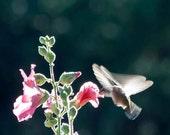 Hummingbird photography art print flying into a Pink Hollyhock Bud Chuparosa Sunshine silhouette animal photograph sunlight 8x8 giclee print
