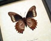 Battus Polydamas Lucayus Gold Rim Swallowtail Real Framed Butterfly 8332