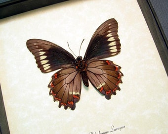 Battus Polydamas Lucayus Gold Rim Swallowtail Real Framed Butterfly 8332
