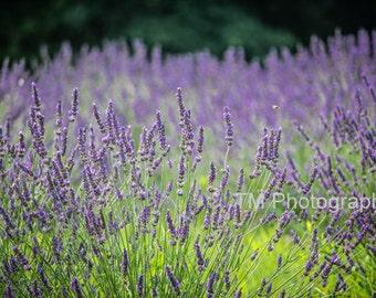 Lavender - Lavendar - Lavender Garden - Dreamy - Lavender Fields - Purple Lavender - Garden - Nature - Fine Art Photography