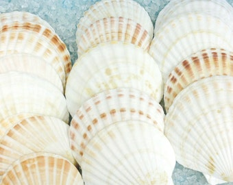 "Seashells - 3 Large Pecten Shells - 3.5"" - 4.25"" -White and Brown"