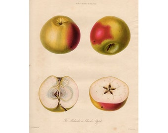 19thC APPLES PRINT original antique engraving botanical fruit print - the malcarle or charles apple