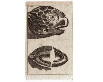1809 TURTLE TORTOISE HEAD tortoise head original antique engraving rare and unusual reptile