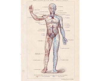 1903 CIRCULATION system anatomy original antique medical blood print