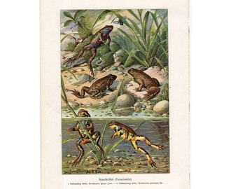 1900 FROG print original antique amphibian lithograph of frogs