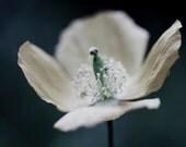 White Poppy Print, Flower Photography, White Wall Decor, Poppy Photo, Dramatic Poppy Art, Large Wall Art