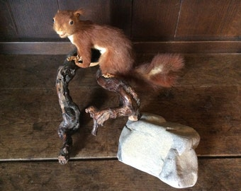 Vintage French mounted Red Squirrel taxidermy figurine statue on wood branch root hunting trophy circa 1950-60's / English Shop