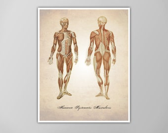 Muscular System Art Print, Muscles Human Anatomy Illustration, Scientific Medical Illustration, Human Anatomy Art, Anatomy Drawing Art Print