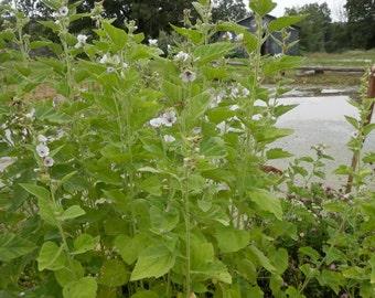 Marshmallow Seeds