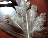 Peacock Smudge Feathers, 8 Feathers, Brown Speckled with Green Iridescense,Naturally Shed,Craft feathers,Center pieces,Bouquet,Wedding,Alter