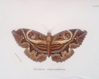 Antique colour print owl moth Crishna macrops butterfly lithograph chromolithograph Lloyds Natural History