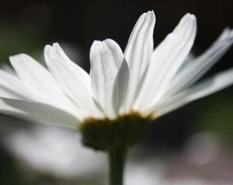 White Daisy 11 x 14 Photograph For Sale White Daisy Photograph White Daisy Print Daisy Photograph Daily Picture