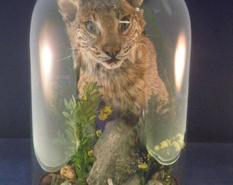 Taxidermy bobcat head in large glass display dome, with skull