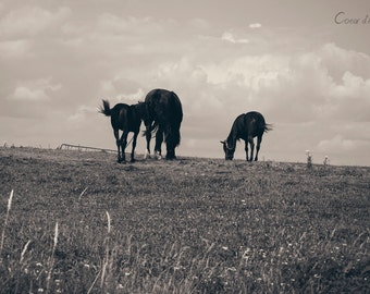 Nature, photography, horses, b/w, countryside scenery with animals, farm, summer, rural, rustic