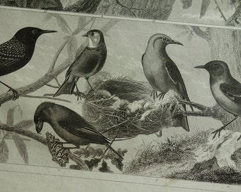 BIRDS old print of birds - original 1849 antique bird poster vintage pictures of starling red crossbill hawfinch canary Blackbird oiseaux