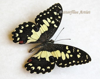 Lime Swallowtail Papilio Demoleus Real Butterfly Framed In Shadowbox