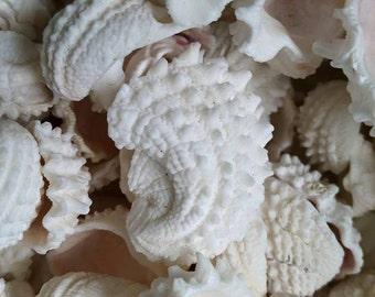 Spiny Jewel Box Seashells