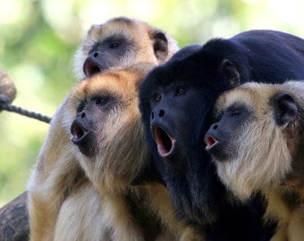 Howler Monkey Group (Art Prints available in multiple sizes)