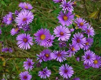 Aster- New England  100  seeds