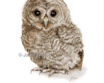Owl Painting - Print of a watercolour by Jan Taylor:  Young Tawny Owl.