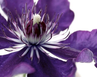 Purple Flower Print, Floral Photography, Nature Photography, Clematis, Flower Closeup, Macro, Botanical, Floral, Purple, Purple and White