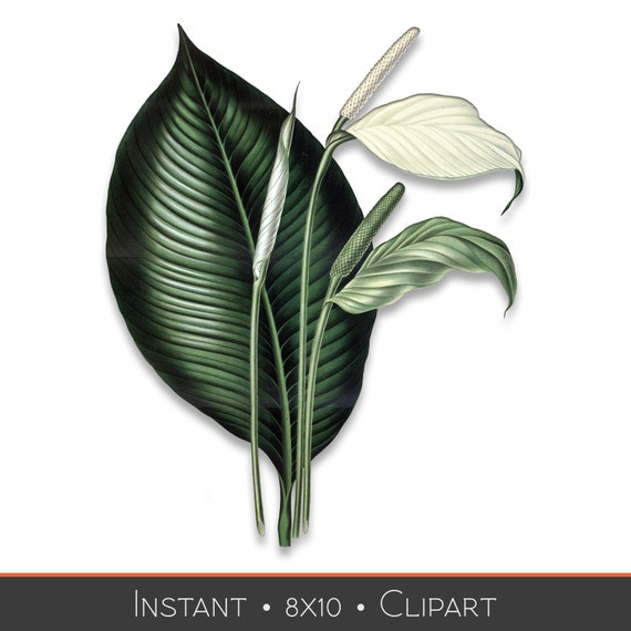Peace Lily Clip Art White Lily Down...