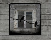 Crows Outside Window, Ravens, Eerie, Square Image, Birds, Nature, Blackbirds, Rook, Old Architecture  - Old Windows