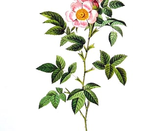 Redoute Rose Print - Rosa Andegavensis - 1978 Vintage Flowers Book Print  - 11 x 9