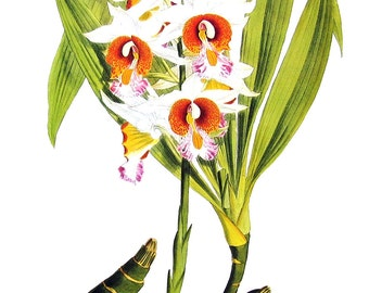 Flower Print - Orchids - Phaius tuberculosus - 1979 Vintage Book Page - Large Print For Framing - 15 x 12