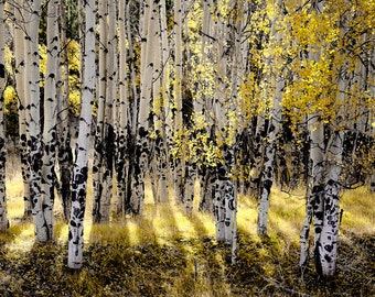 Aspen Trees Golden Fall Colorado Autumn Aspens Forest Leaves Yellow Rustic Cabin Lodge Photograph