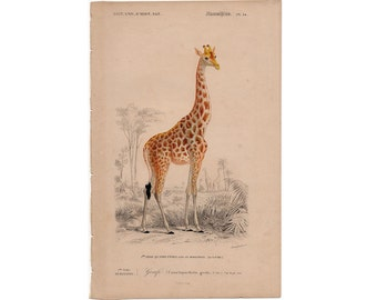 1861 GIRAFFE print antique SAFARI african animal engraving rare and elegant