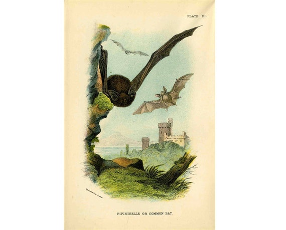 1896 BATS original antique colour lithograph of common bats