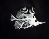 Real Forceps Butterfly Fish skeleton