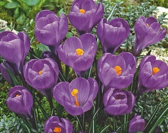 Remembrance Crocus 20 Bulbs - Very Hardy! - 9/10 cm Bulbs